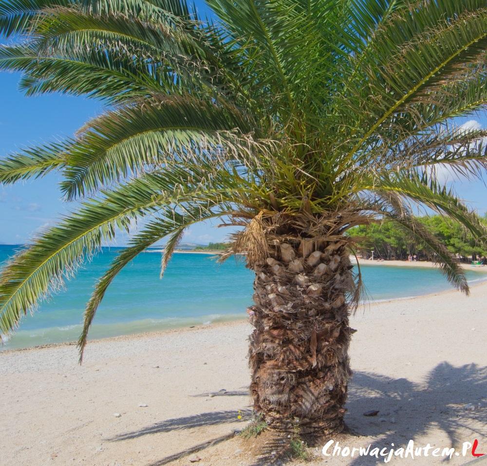 plaża Povljana Pag, palmy