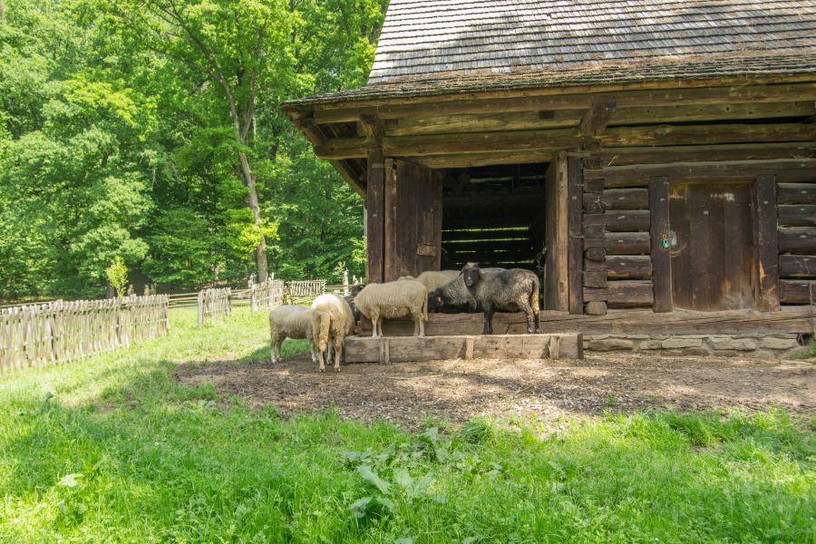 owieczki w skansenie Sanok, Bieszczady atrakcje dla dzieci